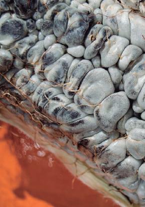 Maiz huitlacoche